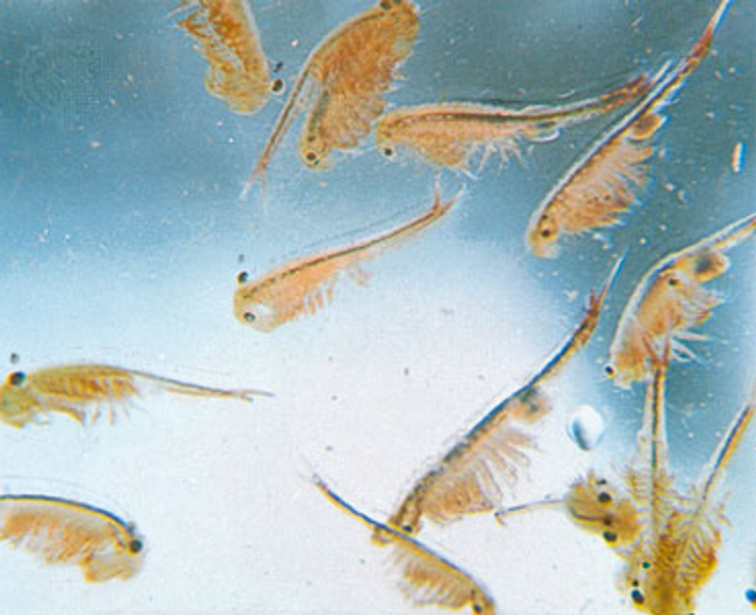 sea_monkeys